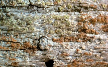 Laven Xylographa soralifera vokser på død ved, oftest på bartrær, gjerne i fjellskog.