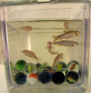 """En voksen sebrafisk har en lengde på cirka tre centimeter. (Foto: Tom Ask)"""
