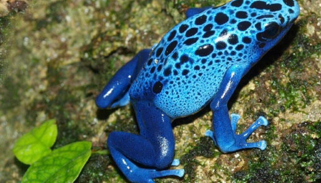 Denne blå, giftige karen er en av rundt 1,4 millioner dyrearter som allerede er kjent for vitenskapen. Det anslås at minst 5 millioner ennå ikke er identifisert. Frosken bærer artsnavnet Dendrobates azureus, og lever i områder av Brasil og Surinam. Den er blant verdens arter som ikke vurderes som truet. (Foto: iStockphoto)