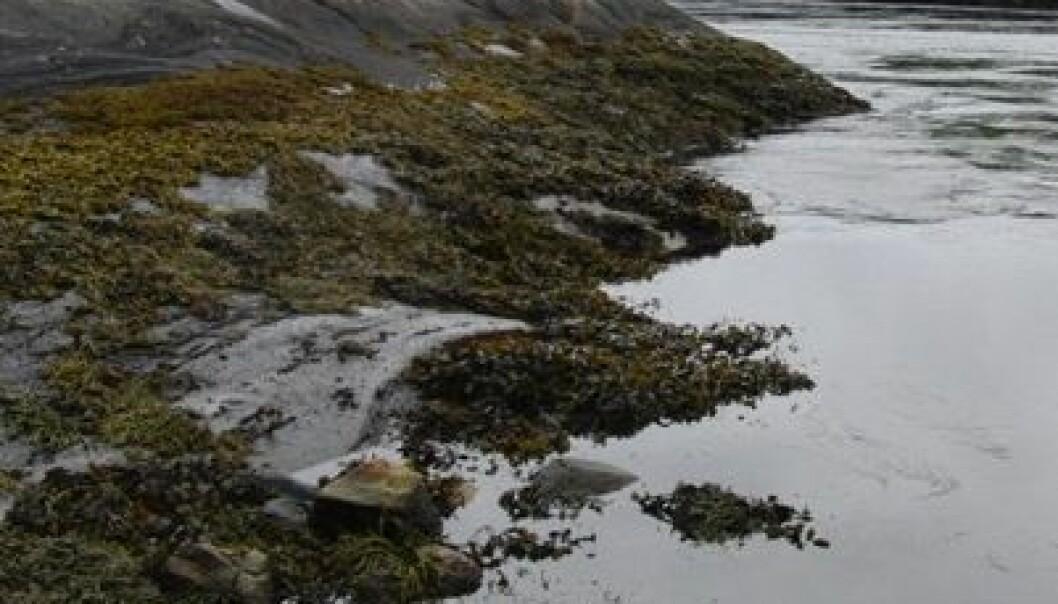 Med lang kyst har Norge store muligheter for å skape en ny næring som blant annet kan utnytte næringsoverskudd fra fiskeoppdrettsanlegg. (Foto: Cèline Rebours)