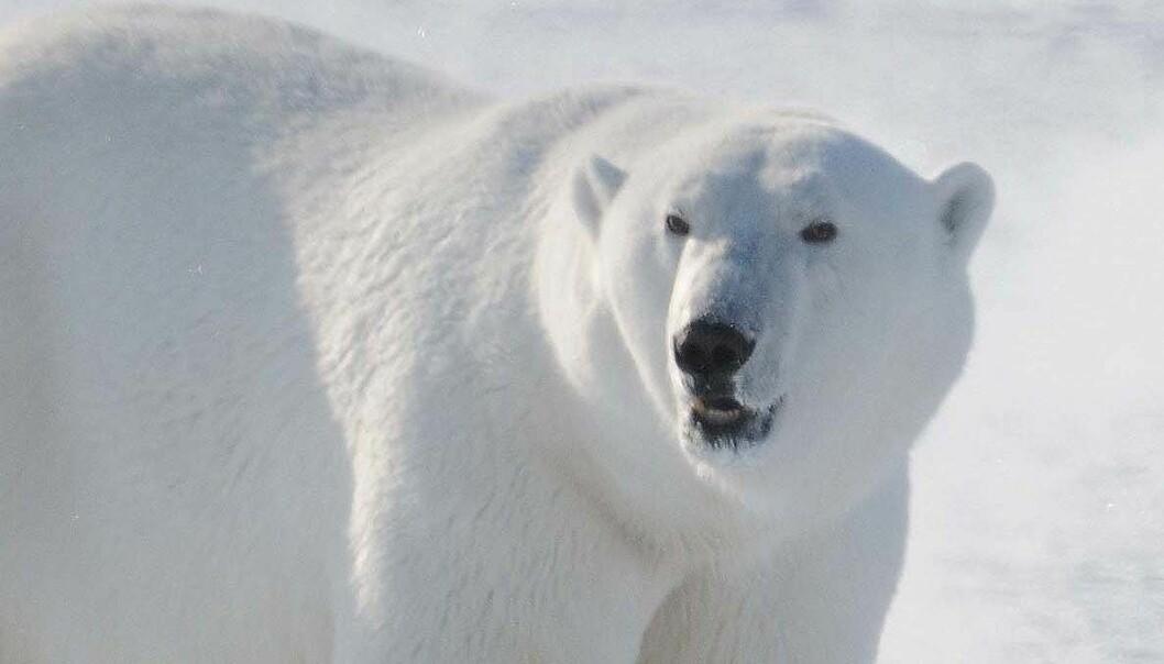 """""""Isbjørn på Svalbard. (Foto: ØysteinWiig, Universitetet i Oslo)"""""""