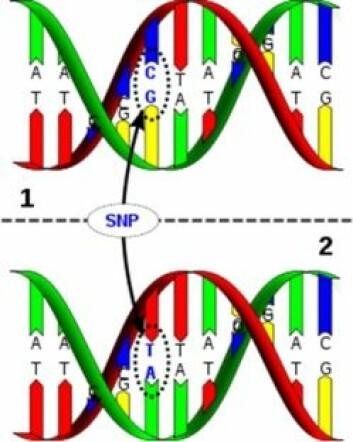 Figuren viser to DNA-tråder med én enkelt baseparvariasjon (en C → T variasjon)