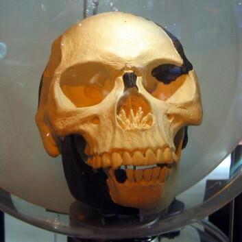 Kopi av Piltdown-menneskets hodeskalle. (Foto: Wikimedia Commons)