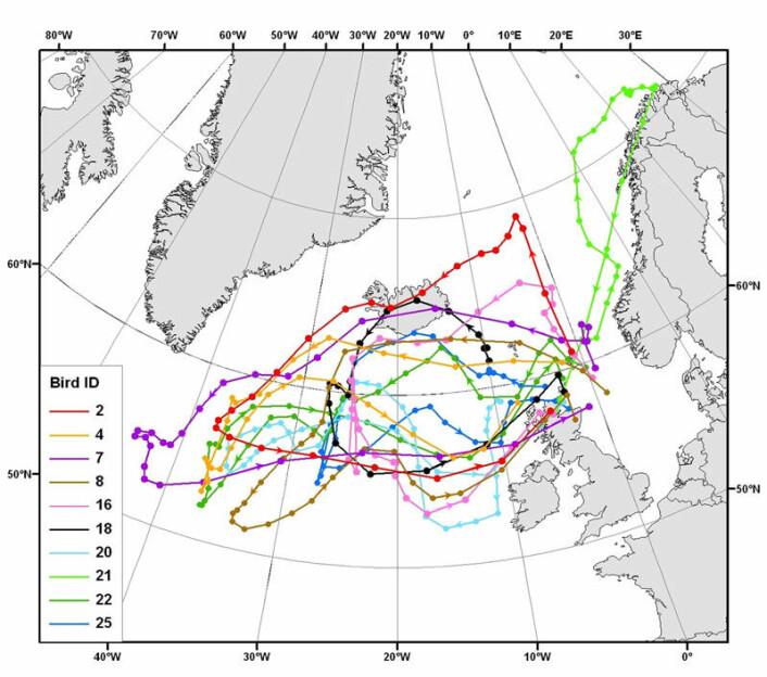 Den britiske studien så først og fremst på hvor krykkjene fra skotske Isle of May holder seg om vinteren. Men den avslører også at krykkjene tar hittil ukjente vandringer over store områder utpå vårparten, før hekkesesongen. Årsaken kan være å finne mat. Kartet viser hvordan fugleforskerne takket være lysloggere får ny informasjon om individuelle fuglers vandringer. En av krykkjene (lysegrønn) reiste helt til Øst-Finnmark. Klikk på forstørrelsesglass for større versjon. (Illustrasjon: Maria I. Bogdanova, Centre for Ecology and Hydrology)
