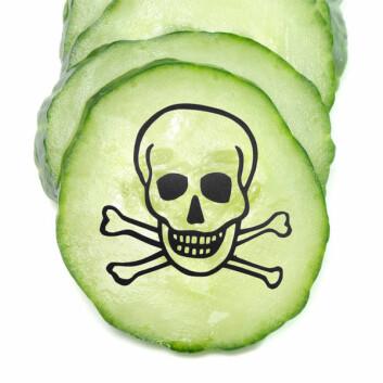 Grønnsaker kan bli infisert med E. coli-bakterier hvis de kommer i kontakt med avføring fra dyr, for eksempel ved vanning eller gjødsel. Det er særlig drøvtyggere som kuer som kan bære de farlige bakteriene i tarmene. (Foto: Colourbox, redigert)