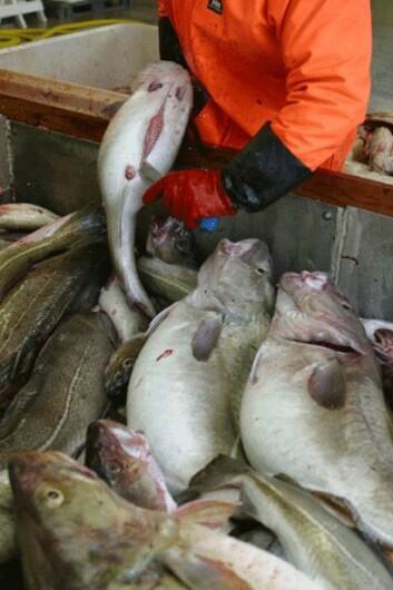 Sløying av torsk. (Foto: Frank Gregersen, Nofima)