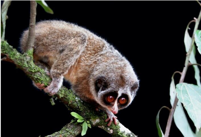 Horton Plains slanklori hadde vært nesten helt forsvunnet i over 60 år, inntil dette bildet ble tatt i Sri Lankas skoger i sommer. (Foto: Zoological Society London)