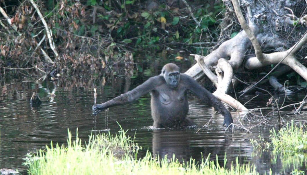 """""""Her har gorillaen funnet grenen som den støtter seg på og måler vanndybden med. (Foto: T. Breuer et al., PloS Biology 3, November 2005)"""""""