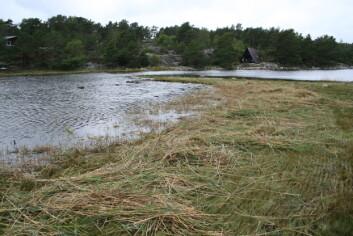 I Ruakerkilen i Grimstad kommune er slått gjennom handlingsplanen igangsatt på en artsrik strandeng. Her vokser fire rødlista planter, som alle står i fare for å dø ut uten skjøtsel. (Foto: Ellen Svalheim)