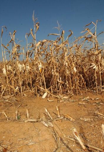 """""""Australske bønder er vant til både tørke og flom, men de frykter nå at det nye bioetanolpåbudet kan føre til sterke prisøkninger på korn de årene avlingene er dårlige. (Illustrasjonsfoto: www.colourbox.no)"""""""