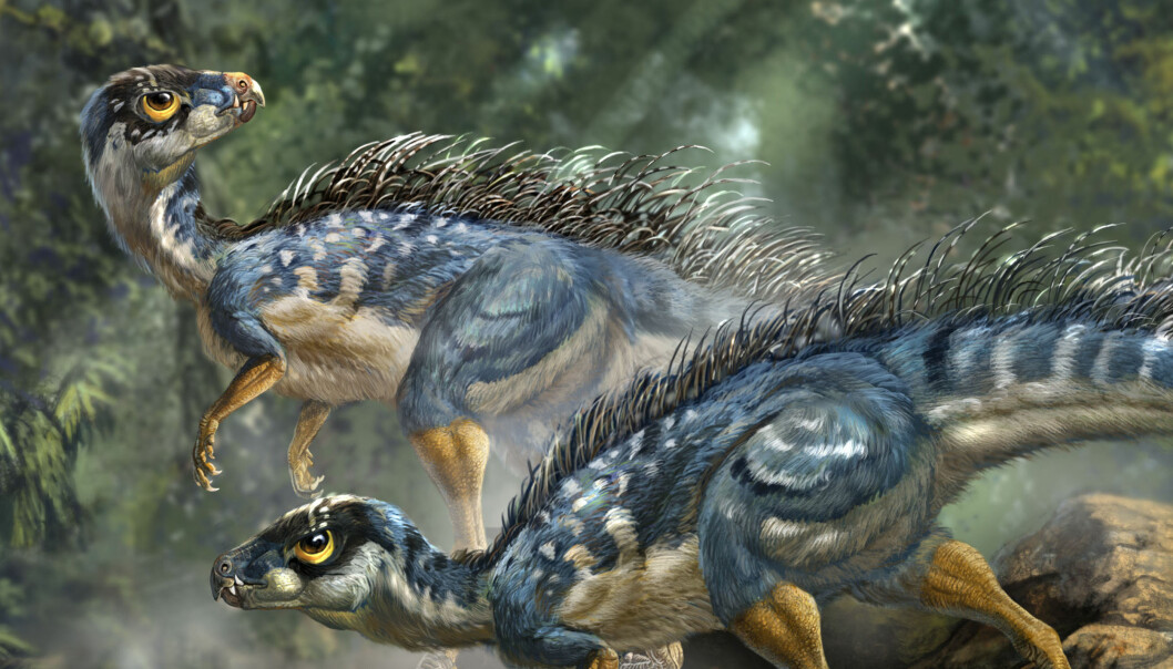 Rekonstruksjon av Tianyulong confuciusi, en fjærkleddplanteetende dinosaur. (Illustrasjon: Li-Da Xing)