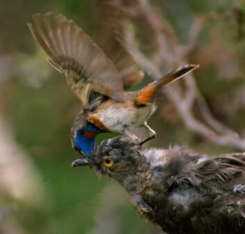 Det skjer et våpenkappløp i naturen mellom gjøken og vertsfuglene. Gjøken må være forsiktig for ikke å bli avslørt, for da kan den ikke lenger legge egg i redet til verten. Her går en blåstrupe til angrep på en utstoppet gjøk. (Foto: Per H. Olsen)