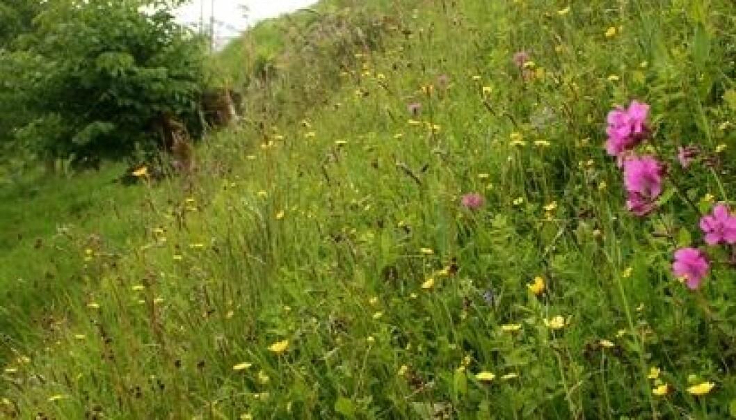 Nærbilde av flora på Ulvund. (Foto: Ellen Svalheim)
