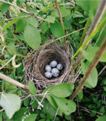 Gjøkhunnen har gjennom evolusjonen utviklet egg som etterlikner vertseggene, såkalt eggmimikry. I mange tilfeller er det utrolig gode etterlikninger. (Foto: Bård Stokke)