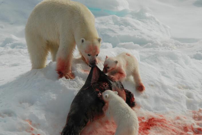 """""""Isbjørnen spiser hovedsaklig sel, og de amerikanske forskerne mener den vil ha problemer med å greie seg på en plantediett i sørligere strøk. (Illustrasjonsfoto: iStockphoto)"""""""