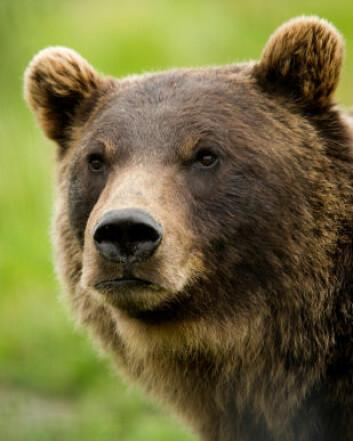 """""""De amerikanske forskerne spår at grizzlybjørnen vil vinne konkurransen med den nesten dobbelt så store isbjørnen. (Illustrasjonsfoto: iStockphoto)"""""""