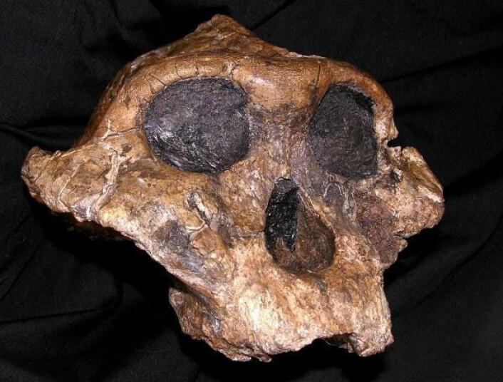 Paranthropus boisei kan ha felles opphav med moderne mennesker, men slektslinjene skilte lag for rundt regnet 2,5 millioner år siden. (Foto: The National Museums of Kenya)