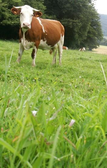 """""""Amerikanske forskere jobber nå med å omdanne gress til etanol. (Illustrasjonsfoto: www.colourbox.no)"""""""