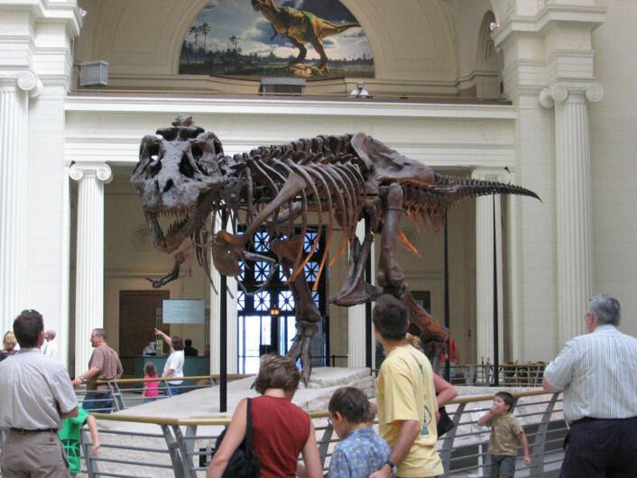 """""""T-rex'en Sue var i sin tid verdens dyreste fossil, men ble heldigvis donert til Field-musee t slik at tilskuere og forskere kunne få glede av henne.(Foto:J. Nguyen, Wikimedia Commons)"""""""