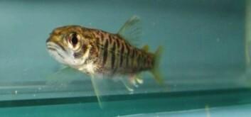 Aggressiv eller beskjeden? Også ørret har personlighet. Fisken på bildet er noen måneder gammel og kommer fra Jörlandaån på den svenske vestkysten. (Foto: Bart Adriaenssens)