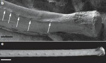 Her kan du se de små kuleformede utvekstene på forbenet til Concavenator corcovatus, merket med piler (b). Nederst ser vi albueben fra en type amerikansk gribb (c). Skala: 1 cm. (Foto gjengitt med tillatelse fra Francisco Ortega)