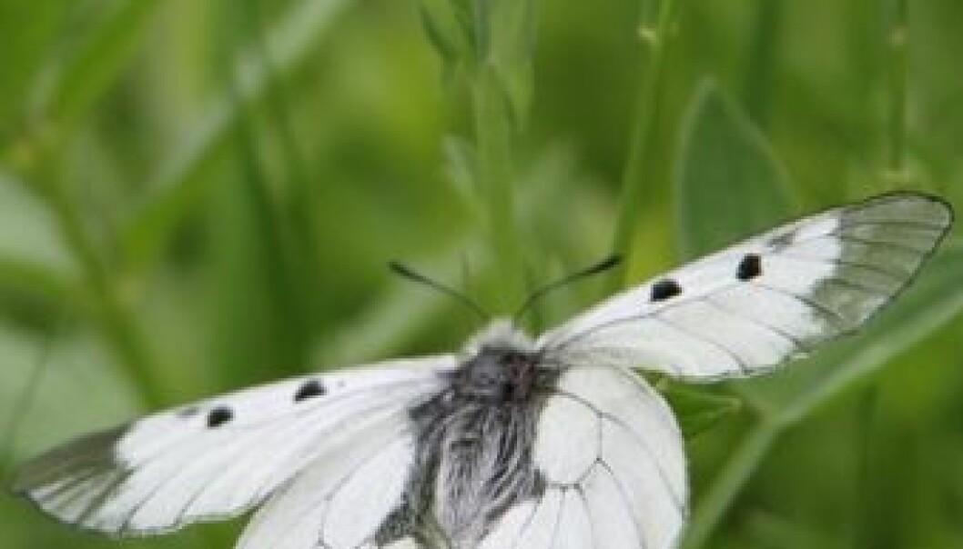 Mnemosynesommerfugl. (Foto: Agne Ødegaard)