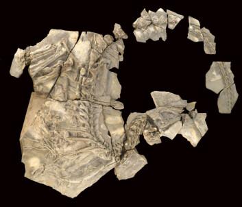 """Her ser du det eneste kjente eksemplaret av Concavenator corcovatus; """"pukkelryggjegeren fra Cuenca"""". (Foto: Santiago Torralba)"""
