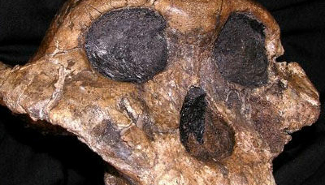 Paranthropus boisei. (Foto: The National Museums of Kenya)
