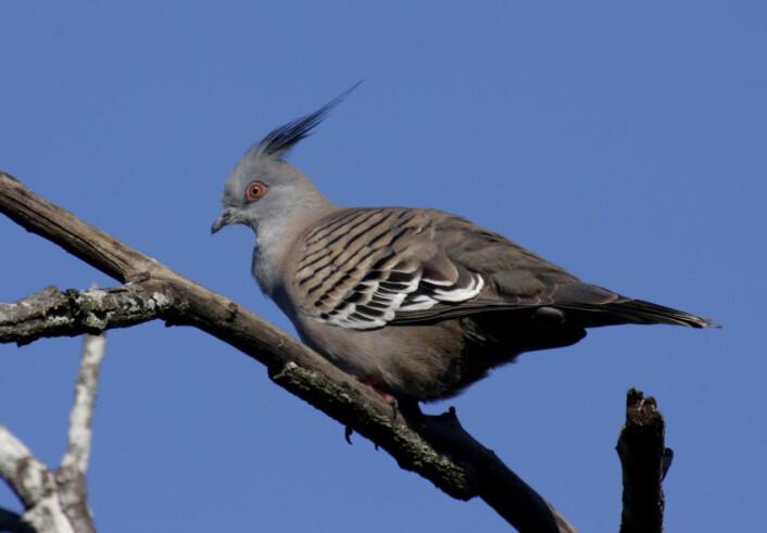 """""""Australske forskere tror den fjonge toppduen kan ha utviklet en spesiell fjær ytterst på vingene for å lage en lyd som varsler om farer. (Foto: Aviceda/Wikimedia Commons)"""""""