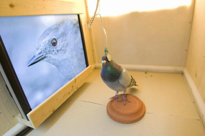 """En av duene som deltok i forsøket blir vist David Attenboroughs tv-serie """"The Life of Birds""""på flatskjerm. Duen har elektroder for EEG-måling av hjerneaktivitet festet til hodet. (Foto: Axel Griesch /Max Planck Institute for Ornithology)"""