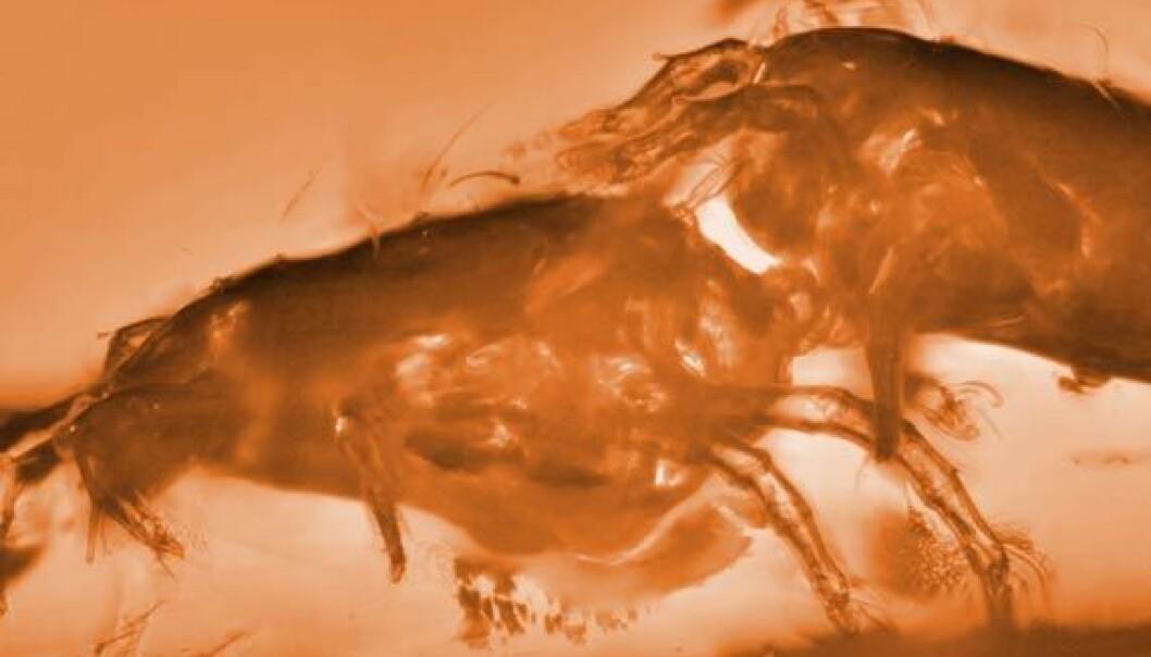 To utdødde midd av arten Glaesacarus rhombeus, bevart under paring i et stykke rav. De vanlige kjønnsrollene er byttet om. Hunnen til venstre kontrollerer paringen, og holder hannen (til høyre) fast. Bildet er kunstig fargelagt av forskning.no (Foto: Ekaterina Sidorchuk)