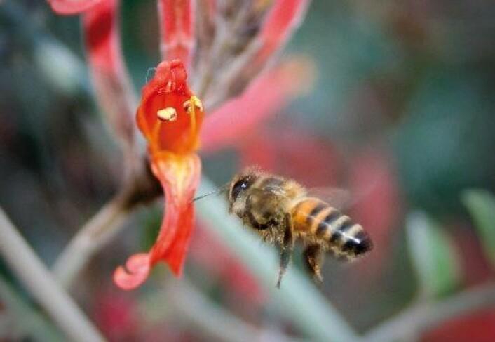 Det er de eldre biene som har ansvaret for å hente mat utenfor bikuben. Å gi dem nye oppgaver, kan bidra til å bedre hukommelsen og evnen til læring. Foto: Adam J. Siegel