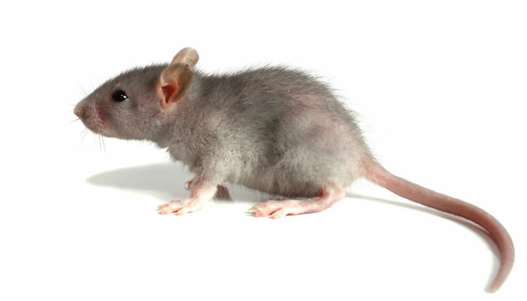 Det er det samme senteret av hjernen som styrer både aggresjon og sexlyst i mus. Det er hensiktsmessig at sexdriften kan slå av aggresjonen, slik at hannmusen parer seg med hunnmus i stedet for å angripe dem. (Foto: Colourbox)