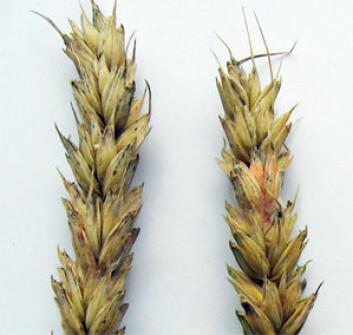 Fusarium i hvete. (Foto: Oleif Elen/Bioforsk)