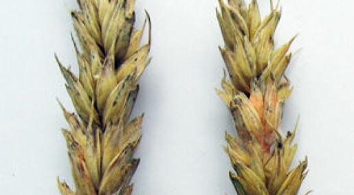 Sopp i kornet - er det farlig?