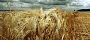 Rask DNA-test mot kornsopp