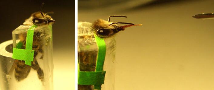 Venstre: En bie er plassert i et plastrør og festet med et bånd bak hodet og overkroppen, klar for forsøket. Høyre: Bien strekker ut sugesnabelen mot sprøyten med sukkervann. (Foto: Bente Smedal, UMB)