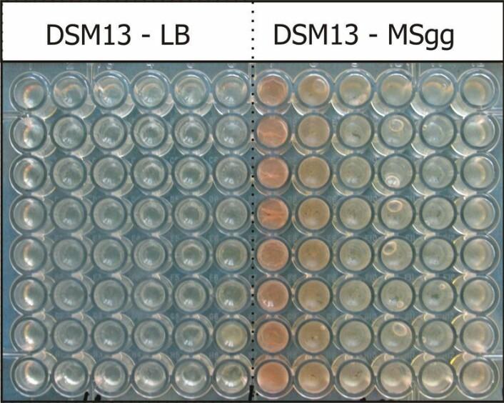 Bakteriene i rørene til venstre slipper ammoniakk opp i lufta. Bakteriene til høyre lukter stoffet. Da begynner de å lage mer slim, samtidig som de blir mer rosa. (Foto: Reindert Nijland)
