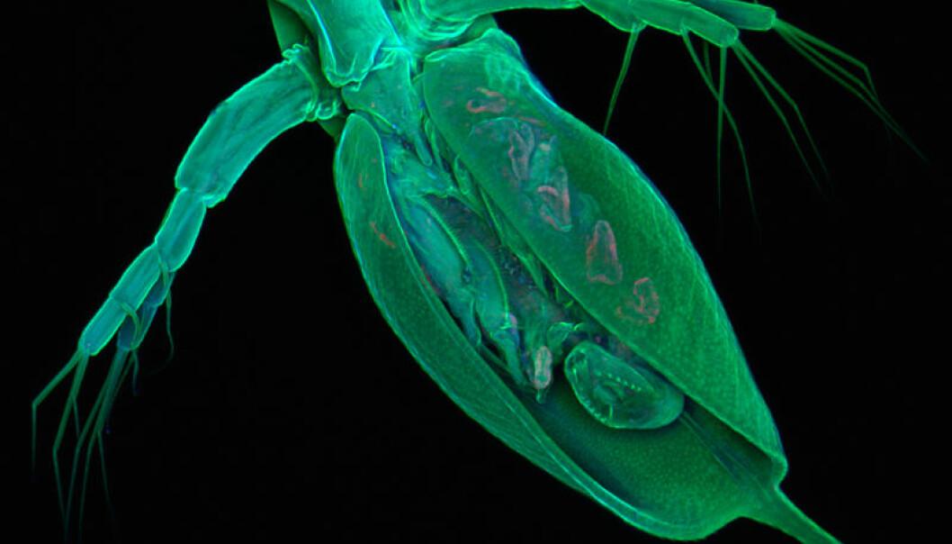 Daphnia pulex er et nesten-mikroskopisk krepsdyr som lever i dammer og innsjøer. (Foto: Jan Michels, Kiels Christian-Albrechts-universitet)