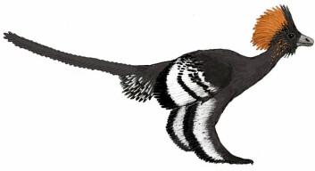 """""""Det er denne dinosauren, Anchiornis huxleyi, som nå har fått fargepryd - en uke etter slektningen Sinosauropteryx. (Foto: Michael A. Digiorgio)"""""""