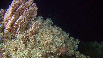 Uskadd korallrev. (Foto: MAREANO/ Havforskningsinstituttet)