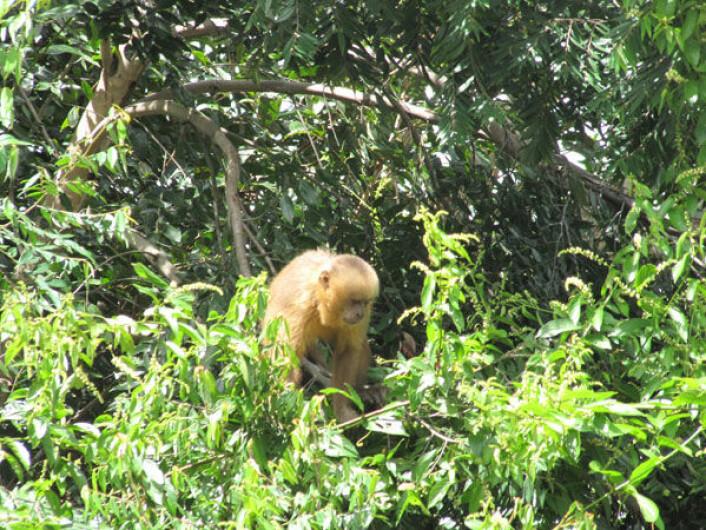 Den intelligente apen lever i Brasils kystregnskog. (Foto: Camila Bione)
