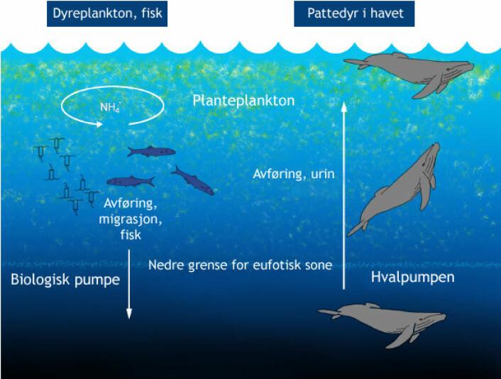 """Modell av """"hvalpumpen"""", som frakter nitrogen fra dypet opp til sonen der planteplankton kan utnytte den i fotosyntesen. (Figur: Hentet fra artikkel i PLoS one, doi:10.1371/journal.pone.0013255.g001, tilpasset av forskning.no)"""