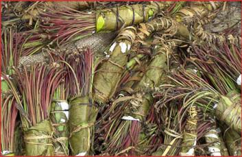Bunter med rusmiddelet khat. (Foto: Wikipedia Commons)