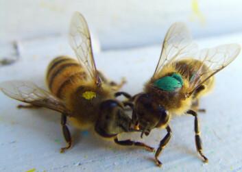 Biene er merket etter læringsevne (Foto: Bente Smedal, UMB)
