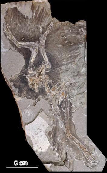 Forskerne hentet fargeprøvene fra dette fossilet av Anchiornis huxleyi.