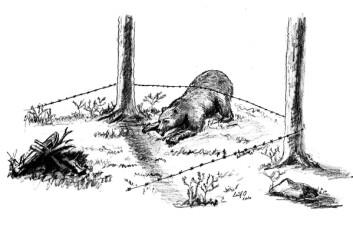 Brunbjørn inn i hårfella. (Tegning: Leif Ollila)