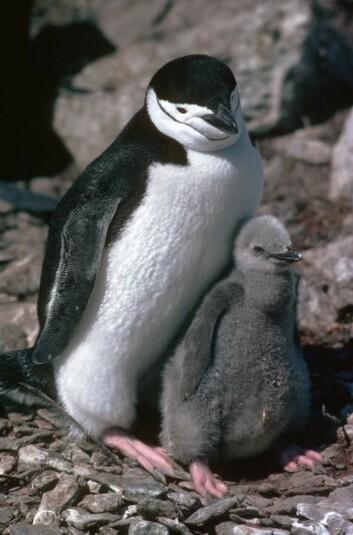 Chinstrap-pingviner. (Foto: British Antarctic Survey)
