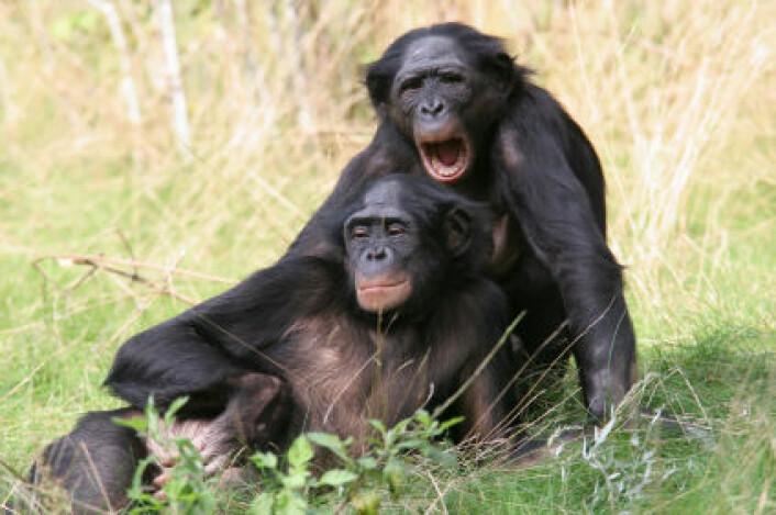 """""""Dvergsjimpansen er mye flinkere enn sjimpanser til å dele maten sin med andre. (Foto: iStockphoto)"""""""