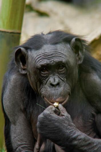 """""""Forskerne tror dvergsjimpansens gavmilde adferd er et resultat av at de lever i områder hvor det aldri er noe problem å få tak i mat. (Foto: iStockphoto)"""""""